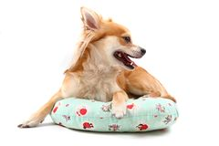 Sweet chihuahua Royalty Free Stock Images