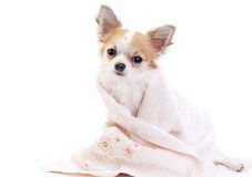 Sweet chihuahua with pink towel isolated Stock Photos