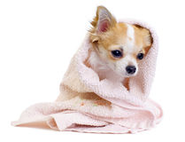 Sweet chihuahua with pink towel isolated