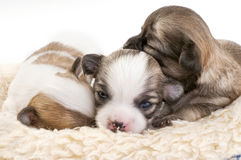 Sweet chihuahua puppies litter Stock Photography