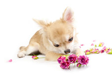 Sweet chihuahua puppy admiring pink roses Royalty Free Stock Images