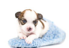 Sweet Chihuahua puppy in blue slipper Stock Photo