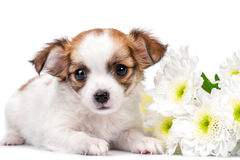 Sweet Chihuahua puppy with chrysanthemums  flowers close-up isolated on white Stock Photo