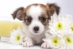 Sweet Chihuahua puppy and flowers Stock Photos
