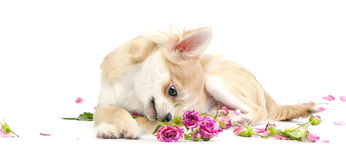 Sweet chihuahua puppy looking at pink roses. On white background Stock Photos