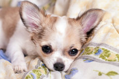 Sweet chihuahua puppy luxuriating in bed Royalty Free Stock Images