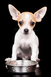 Sweet chihuahua puppy with a water bowl Royalty Free Stock Photos