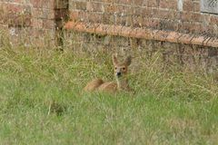 A cute Chinese Water Deer Hydropotes inermis lying down resting in the long grass. Stock Image
