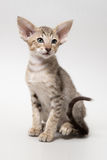 Sweet chocolate red tabby oriental kitten Royalty Free Stock Images