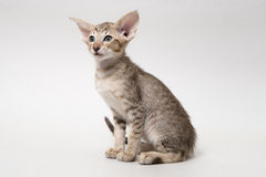 Sweet chocolate red tabby oriental kitten Royalty Free Stock Photos