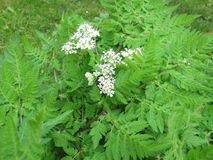 Sweet Cicely, Myrrhis odorata Royalty Free Stock Photography