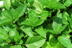 Sweet cinnamon basil Royalty Free Stock Images