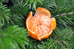 Sweet Clementines or Tangerines with Xmas Tree Branches Royalty Free Stock Images