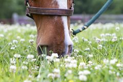 Sweet Clover Stock Images