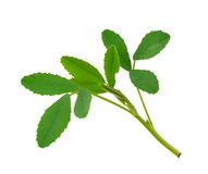 Sweet clover leafs Royalty Free Stock Photography