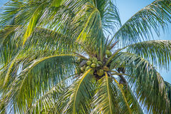 Sweet coconut palm trees with blue sky in key west florida Royalty Free Stock Images