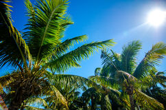Sweet coconut palm trees with blue sky in key west florida Stock Images