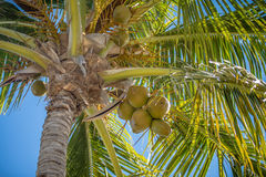 Sweet coconut palm trees with blue sky in key west florida Royalty Free Stock Image