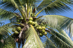 Sweet Coconut tree Royalty Free Stock Photo