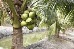 Sweet Coconut tree Stock Photo