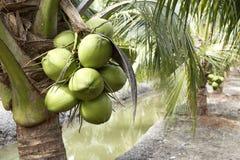 Sweet Coconut tree Royalty Free Stock Photos