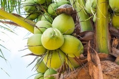 Sweet Coconut tree Royalty Free Stock Photos