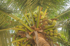 Sweet Coconuts on its tree Stock Photo