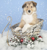 Sweet Collie Puppy. Cute Collie puppy sitting in a Christmas sled with snow and snow flakes falling around him royalty free stock image