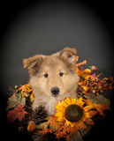 Sweet Collie Puppy. Cute Collie puppy with fall decor on a black background stock image