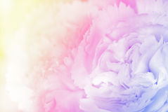 Sweet color carnation in soft and blur style background Stock Photos