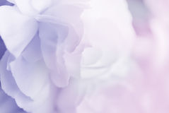 Sweet color carnation in soft and blur style background Stock Photo