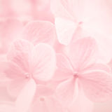 Sweet color hydrangeas in soft and blur style Royalty Free Stock Photos