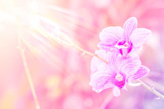 Sweet color orchid in soft color and blur style for background Royalty Free Stock Photo