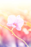 Sweet color orchid in soft color and blur style for background Royalty Free Stock Image