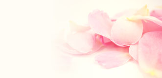 Sweet color petal rose for romantic background Royalty Free Stock Photos