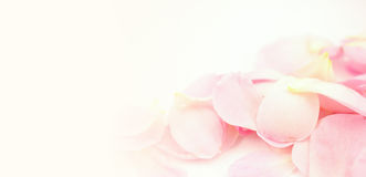Sweet color petal rose for romantic background Stock Photo