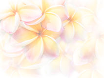 Sweet color pink Plumeria or Frangipani flowers stock photography