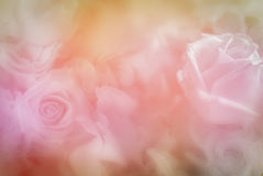 Sweet color roses in soft color for flora background. Sweet color roses in soft color for flora blured background Royalty Free Stock Photography