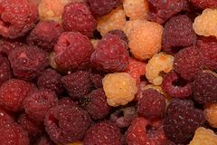 Sweet colorful raspberry from my garden royalty free stock images