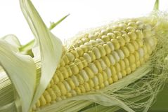 Sweet Corn Stock Photo