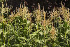 Sweet-corn Royalty Free Stock Image