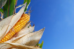 Sweet corn. Sweet yellow corn infront of blue sky. Ready for harvesting stock photos