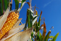 Sweet corn. Sweet yellow corn infront of blue sky. Ready for harvesting stock photo