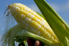 Free Sweet Corn Stock Photos - 9082503