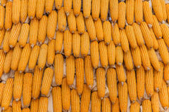 Sweet Corn Agricultural products in farm Stock Images