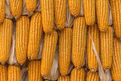Sweet Corn Agricultural products in farm. Stock Photo