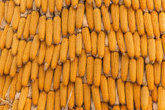 Sweet Corn Agricultural products in farm Royalty Free Stock Photo