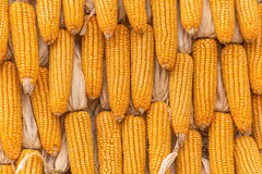 Sweet Corn Agricultural products in farm Royalty Free Stock Photos