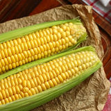 Sweet corn. Close up of two raw corns on the cob Royalty Free Stock Photo