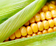 Sweet corn closeup. Fresh organic corn cob Royalty Free Stock Photos
